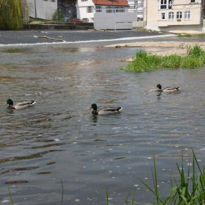 Enten am Wehr